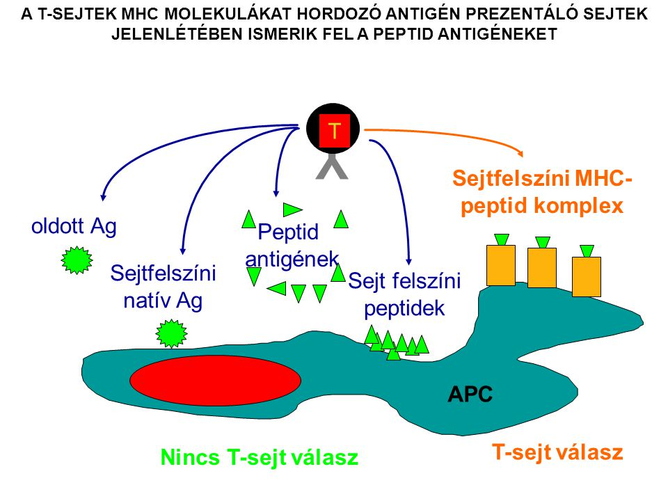 A T-SEJTEK MHC MOLEKULÁKAT HORDOZÓ ANTIGÉN PREZENTÁLÓ SEJTEK JELENLÉTÉBEN ISMERIK FEL A PEPTID ANTIGÉNEKET Y T Nincs T-sejt válasz oldott Ag Sejtfelszíni natív Ag Peptid antigének Sejtfelszíni MHC- peptid komplex T-sejt válasz Sejt felszíni peptidek APC