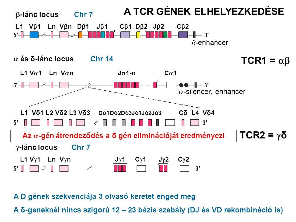 Chr 7 Chr 14  -lánc locus  és δ-lánc locus  -lánc locus Az  -gén átrendeződés a δ gén eliminációját eredményezi A D gének szekvenciája 3 olvasó keretet enged meg A δ-geneknél nincs szigorú 12 – 23 bázis szabály (DJ és VD rekombináció is) Chr 7 TCR1 =  TCR2 =  δ A TCR GÉNEK ELHELYEZKEDÉSE L1 V  1 Ln V  n D  1 J  1 C  1 D  2 J  2 C  2  -enhancer L1 V  1 Ln V  n J  1 C  1 J  2 C  2  -silencer, enhancer L1 Vδ1 L2 Vδ2 L3 Vδ3 Dδ1Dδ2Dδ3Jδ1Jδ2Jδ3 Cδ L4 Vδ4 L1 V  1 Ln V  n J  1-n C  1