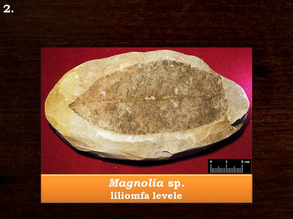 Magnolia sp. liliomfa levele Magnolia sp. liliomfa levele2.