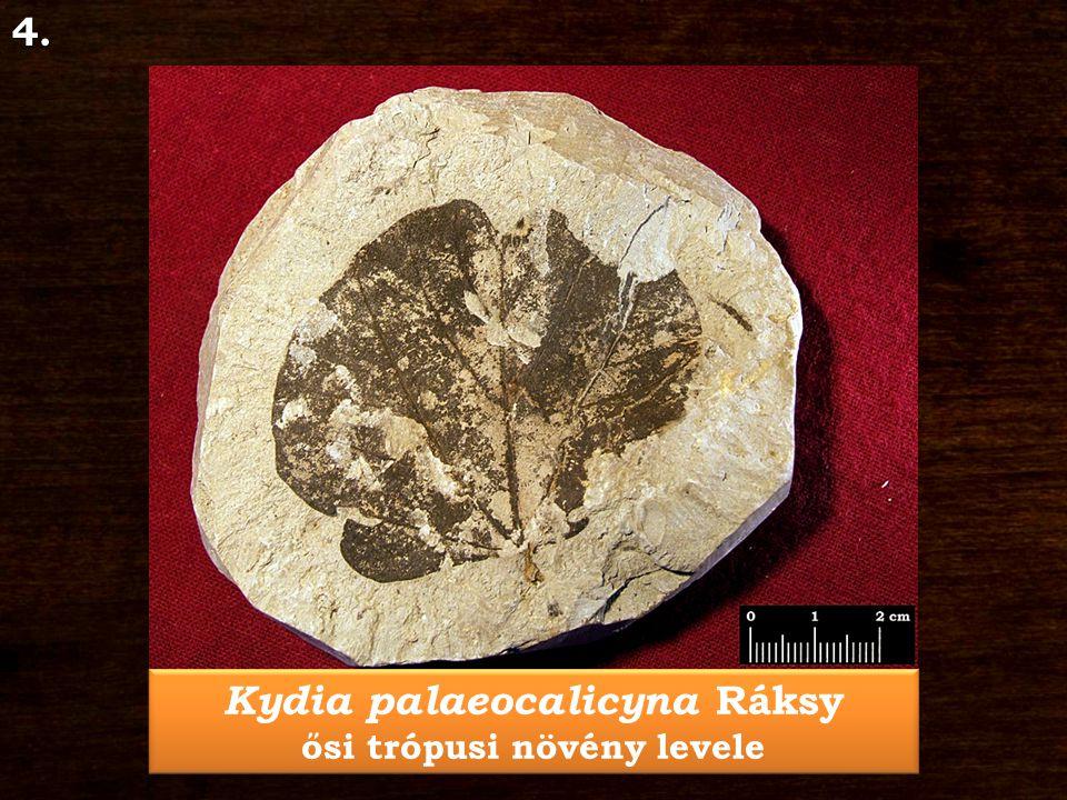 Kydia palaeocalicyna Ráksy ősi trópusi növény levele Kydia palaeocalicyna Ráksy ősi trópusi növény levele4.