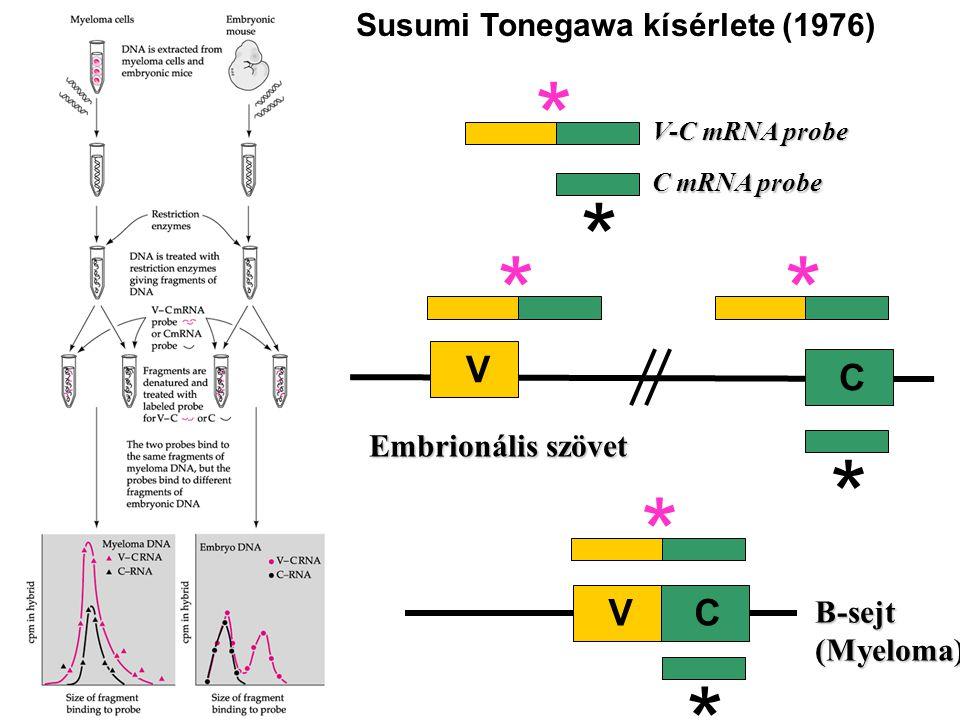 ** * * * B-sejt (Myeloma) VC V C Embrionális szövet V-C mRNA probe C mRNA probe * * Susumi Tonegawa kísérlete (1976)