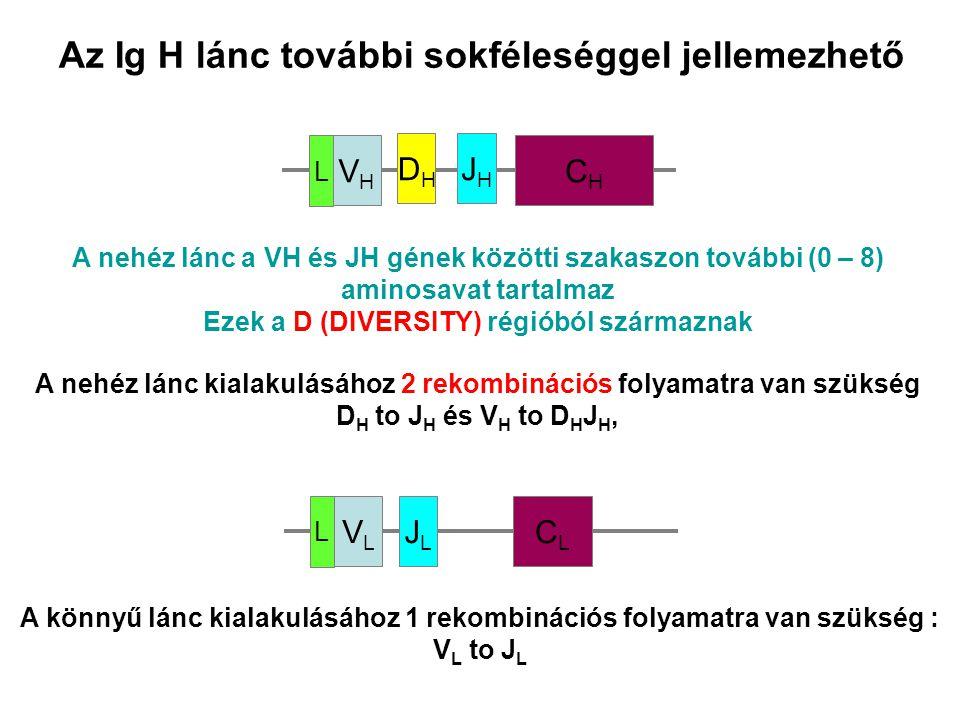 Az Ig H lánc további sokféleséggel jellemezhető VLVL JLJL CLCL L CHCH VHVH JHJH DHDH L A nehéz lánc a VH és JH gének közötti szakaszon további (0 – 8)