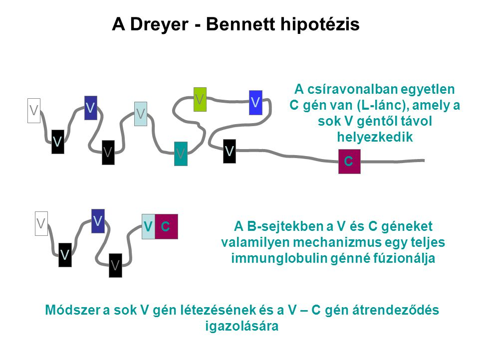 A Dreyer - Bennett hipotézis V V V V V V V V V V V V V A B-sejtekben a V és C géneket valamilyen mechanizmus egy teljes immunglobulin génné fúzionálja