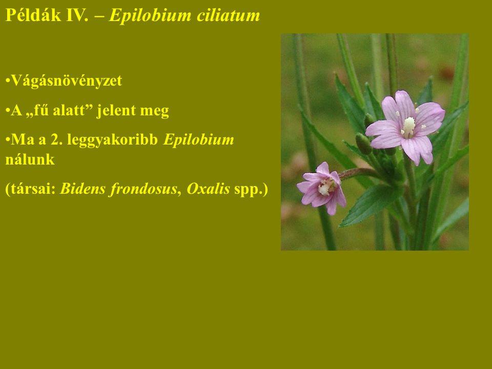 """Példák IV. – Epilobium ciliatum Vágásnövényzet A """"fű alatt jelent meg Ma a 2."""