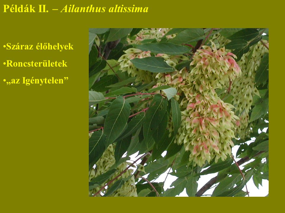 """Példák II. – Ailanthus altissima Száraz élőhelyek Roncsterületek """"az Igénytelen"""