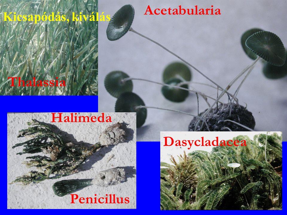Penicillus Halimeda Acetabularia Thalassia Dasycladacea Kicsapódás, kiválás