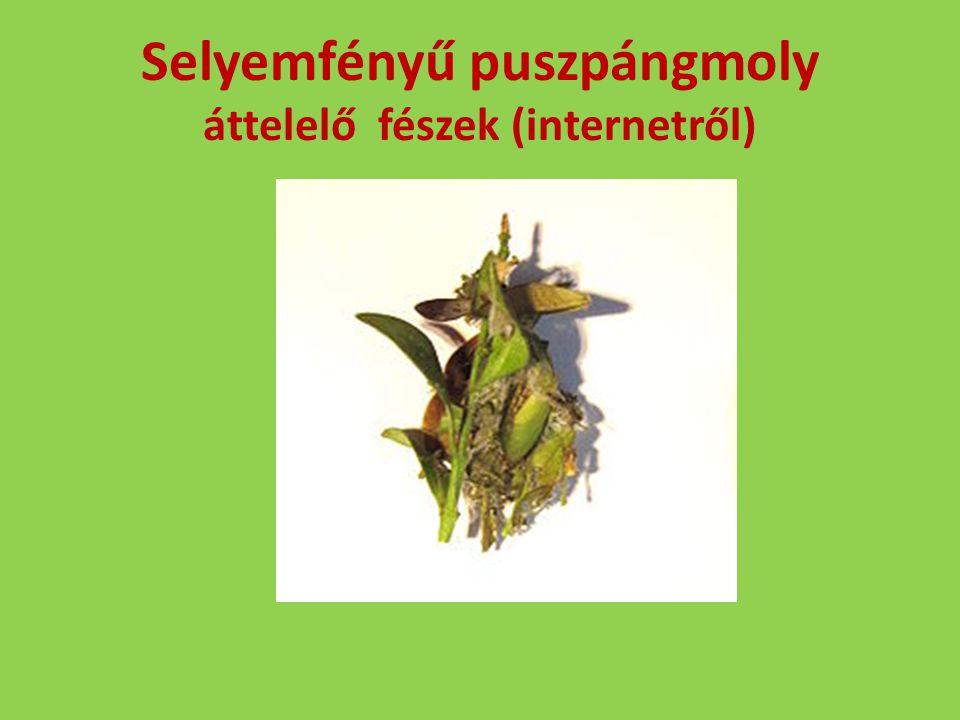 Selyemfényű puszpángmoly áttelelő fészek (internetről)