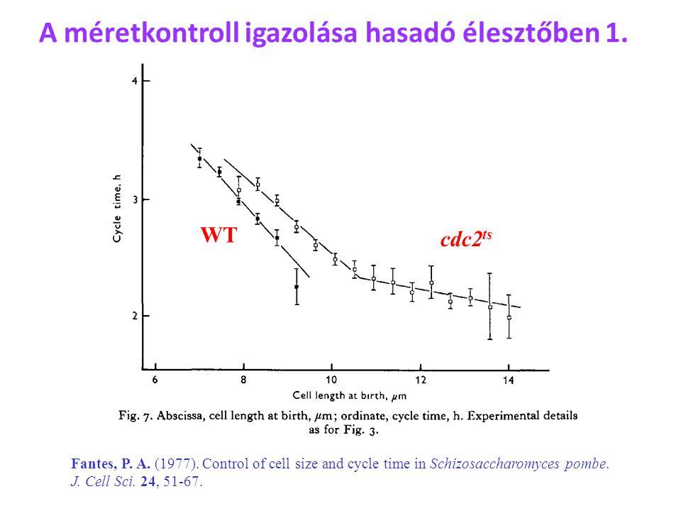A méretkontroll igazolása hasadó élesztőben 1. WT cdc2 ts Fantes, P. A. (1977). Control of cell size and cycle time in Schizosaccharomyces pombe. J. C