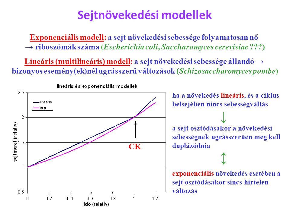Sejtnövekedési modellek Exponenciális modell: a sejt növekedési sebessége folyamatosan nő → riboszómák száma (Escherichia coli, Saccharomyces cerevisi