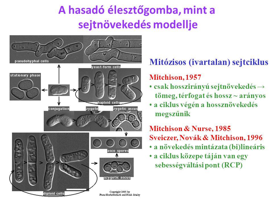 A hasadó élesztőgomba, mint a sejtnövekedés modellje Mitózisos (ivartalan) sejtciklus Mitchison, 1957 csak hosszirányú sejtnövekedés → tömeg, térfogat és hossz ~ arányos a ciklus végén a hossznövekedés megszűnik Mitchison & Nurse, 1985 Sveiczer, Novák & Mitchison, 1996 a növekedés mintázata (bi)lineáris a ciklus közepe táján van egy sebességváltási pont (RCP)