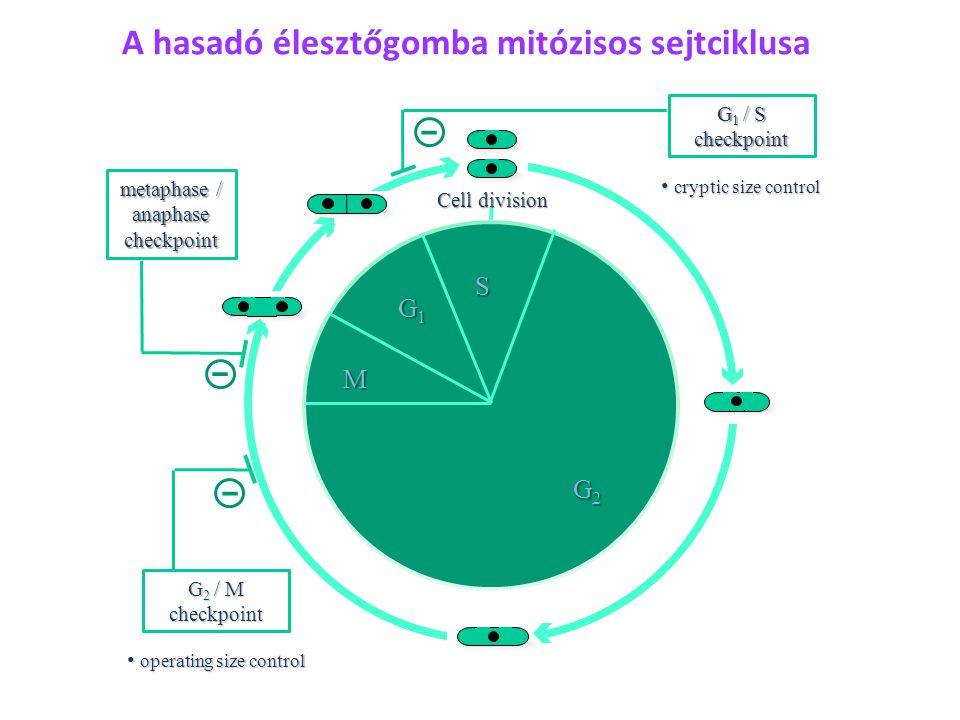 SG2MG1S RCP2 Idő (min) Sejthossz, L (  m) NETO új régi vég CK A Schizosaccharomyces pombe növekedése RCP3 RCP1