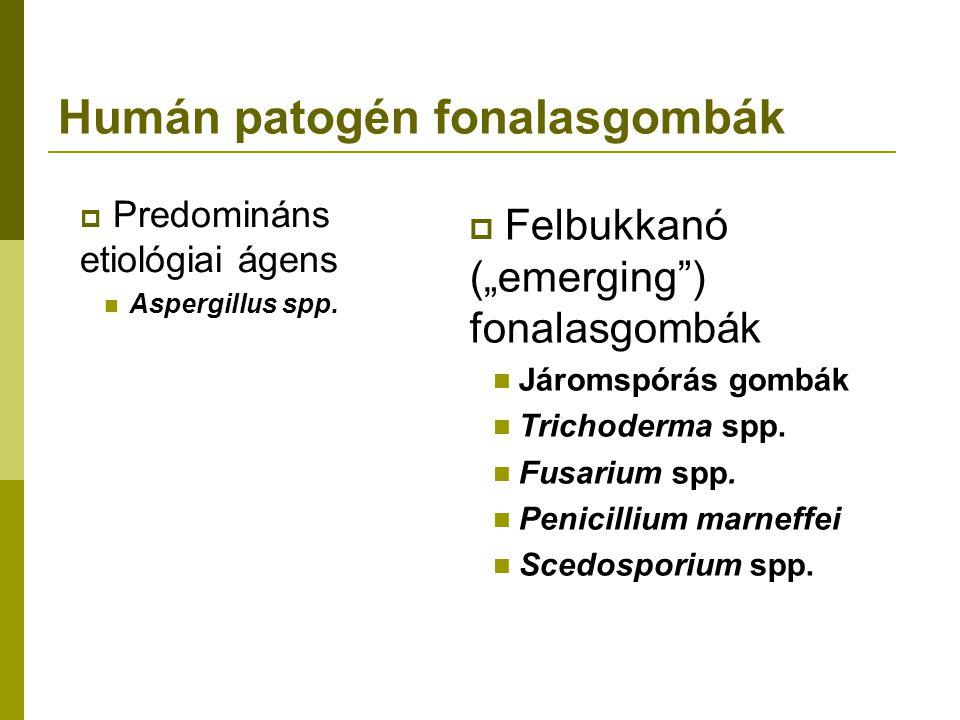 Humán patogén fonalasgombák  Predomináns etiológiai ágens Aspergillus spp.