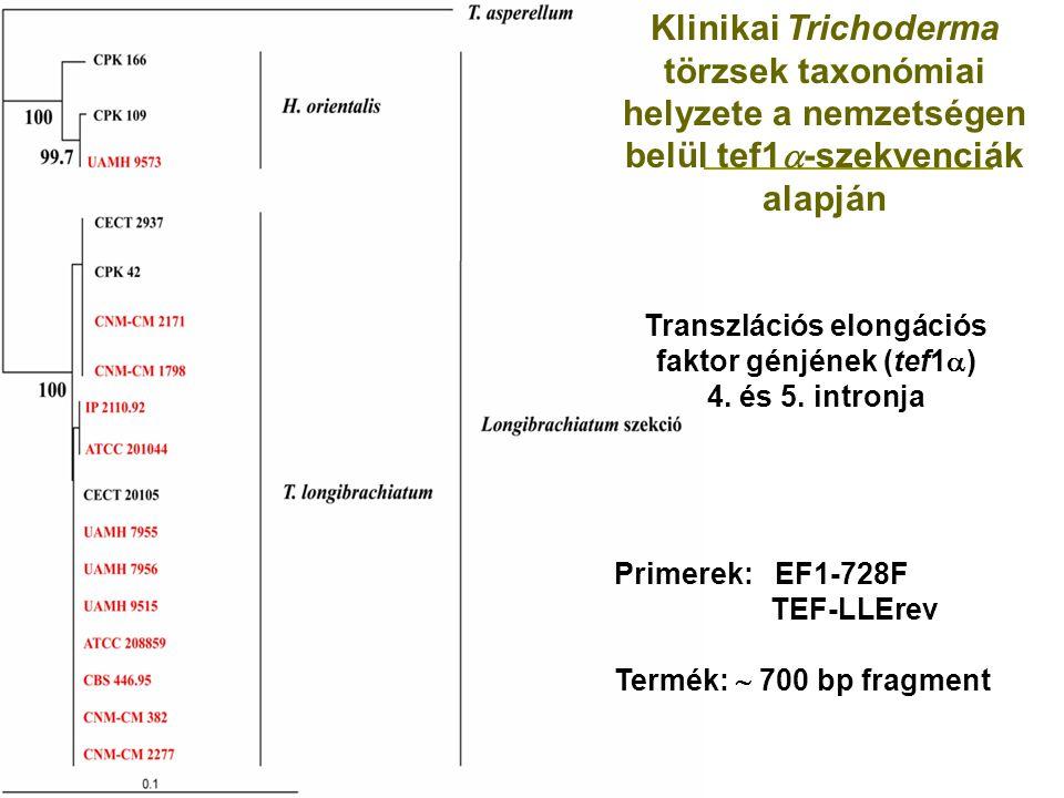 Klinikai Trichoderma törzsek taxonómiai helyzete a nemzetségen belül tef1  -szekvenciák alapján Transzlációs elongációs faktor génjének (tef1  ) 4.