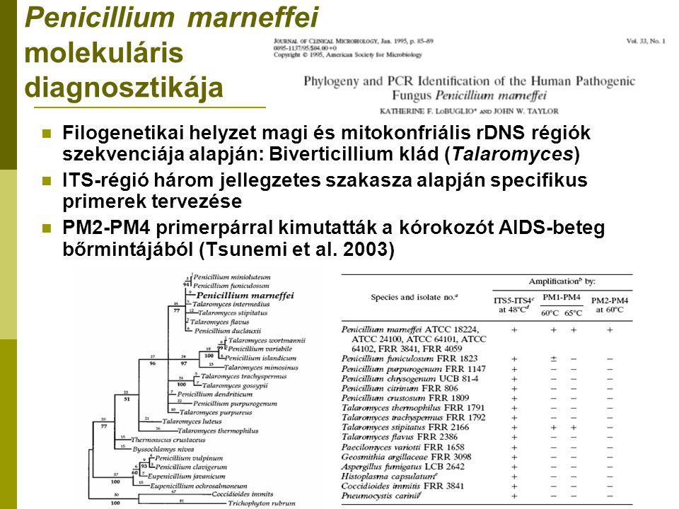 Penicillium marneffei molekuláris diagnosztikája Filogenetikai helyzet magi és mitokonfriális rDNS régiók szekvenciája alapján: Biverticillium klád (Talaromyces) ITS-régió három jellegzetes szakasza alapján specifikus primerek tervezése PM2-PM4 primerpárral kimutatták a kórokozót AIDS-beteg bőrmintájából (Tsunemi et al.