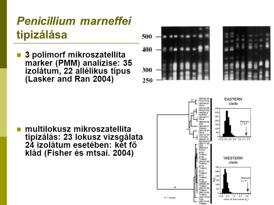 Penicillium marneffei tipizálása 3 polimorf mikroszatellita marker (PMM) analízise: 35 izolátum, 22 allélikus típus (Lasker and Ran 2004) multilokusz mikroszatellita tipizálás: 23 lokusz vizsgálata 24 izolátum esetében: két fő klád (Fisher és mtsai.