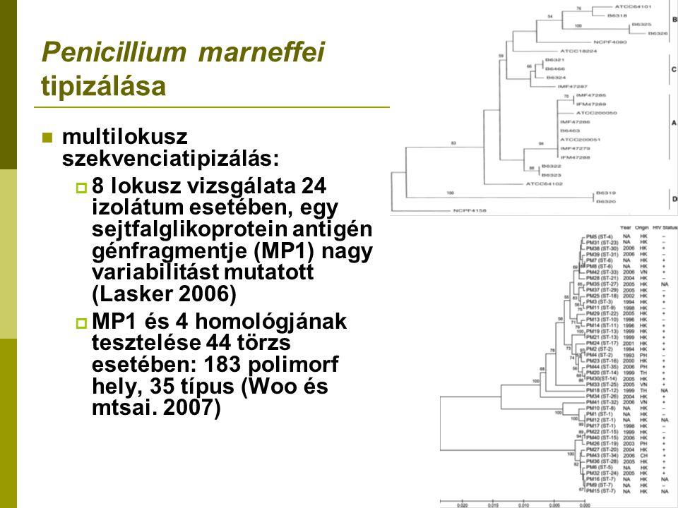 Penicillium marneffei tipizálása multilokusz szekvenciatipizálás:  8 lokusz vizsgálata 24 izolátum esetében, egy sejtfalglikoprotein antigén génfragmentje (MP1) nagy variabilitást mutatott (Lasker 2006)  MP1 és 4 homológjának tesztelése 44 törzs esetében: 183 polimorf hely, 35 típus (Woo és mtsai.