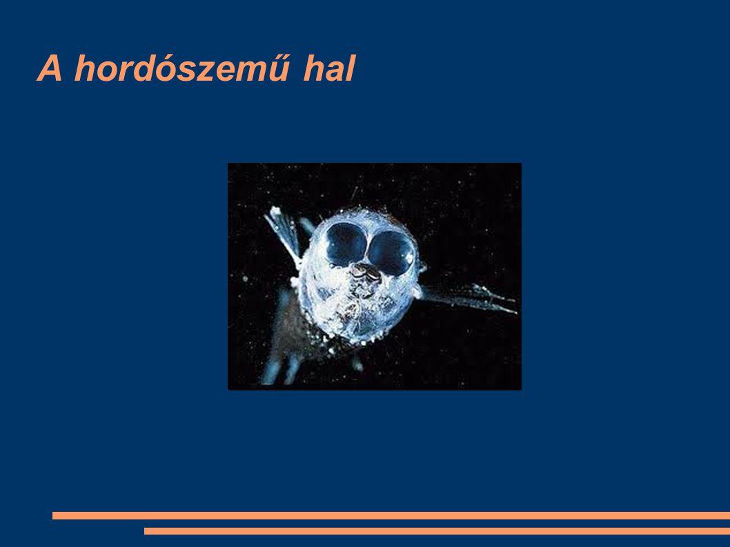 A hordószemű hal