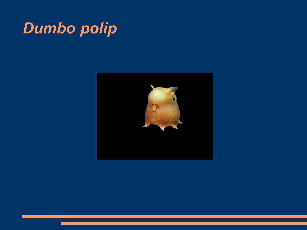Dumbo polip