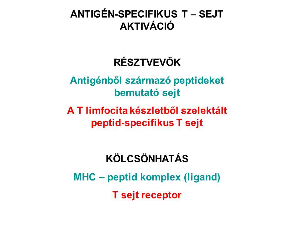 ANTIGÉN-SPECIFIKUS T – SEJT AKTIVÁCIÓ RÉSZTVEVŐK Antigénből származó peptideket bemutató sejt A T limfocita készletből szelektált peptid-specifikus T sejt KÖLCSÖNHATÁS MHC – peptid komplex (ligand) T sejt receptor
