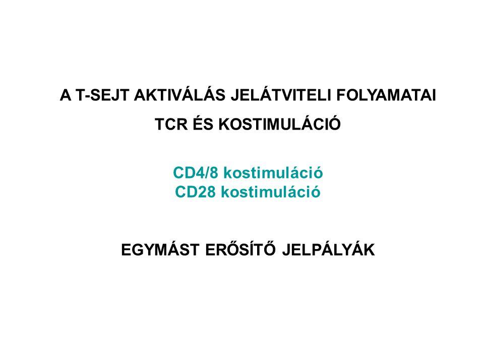 A T-SEJT AKTIVÁLÁS JELÁTVITELI FOLYAMATAI TCR ÉS KOSTIMULÁCIÓ CD4/8 kostimuláció CD28 kostimuláció EGYMÁST ERŐSÍTŐ JELPÁLYÁK