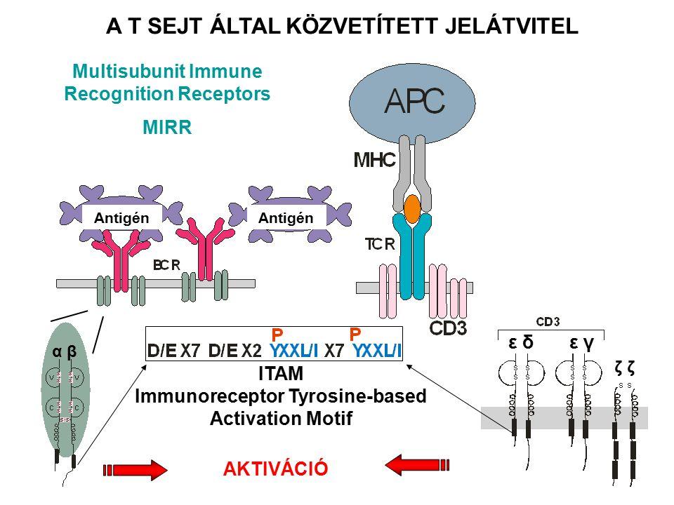 α βα β ε δ ε γ ζ ζζ ζ ITAM Immunoreceptor Tyrosine-based Activation Motif AKTIVÁCIÓ A T SEJT ÁLTAL KÖZVETÍTETT JELÁTVITEL Multisubunit Immune Recognition Receptors MIRR Antigén