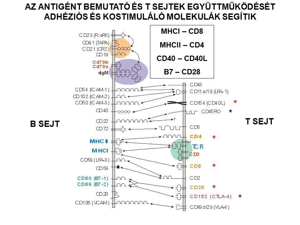 AZ ANTIGÉNT BEMUTATÓ ÉS T SEJTEK EGYÜTTMŰKÖDÉSÉT ADHÉZIÓS ÉS KOSTIMULÁLÓ MOLEKULÁK SEGÍTIK * * * * * * B SEJT T SEJT MHCI – CD8 MHCII – CD4 CD40 – CD40L B7 – CD28