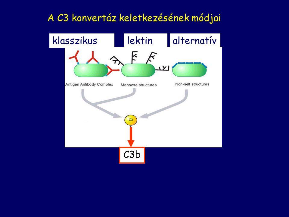 Opszonizáció: C3b lerakódás Fagocitózis elősegítése Gyulladás: Érpermeabilitás növekedés, Fagociták kemotaktikus odavonzása Sejtlízis: Transzmembrán csatorna (MAC) kialakítása