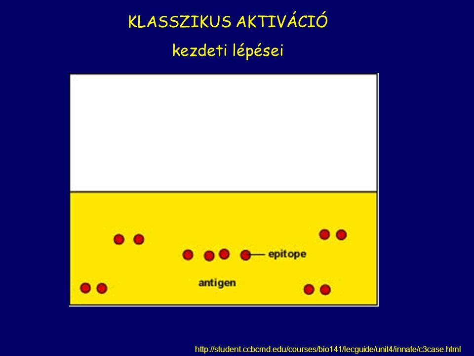 Patogén felszín C1q Patogén felszín + C1r, C1s IgM-pentamer a patogén felszínén IgG-k közel egymáshoz