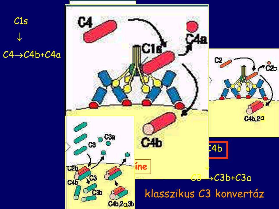KLASSZIKUS AKTIVÁCIÓ kezdeti lépései http://student.ccbcmd.edu/courses/bio141/lecguide/unit4/innate/c3case.html
