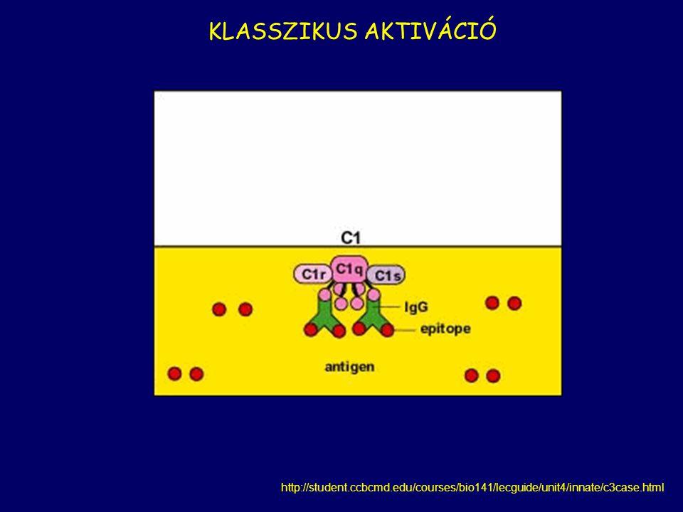C1s  C4  C4b+C4a C1s  C2  C2a+C2b  C4b+C2a  C2aC4b klasszikus C3 konvertáz Patogén felszíne  C3  C3b+C3a a a b
