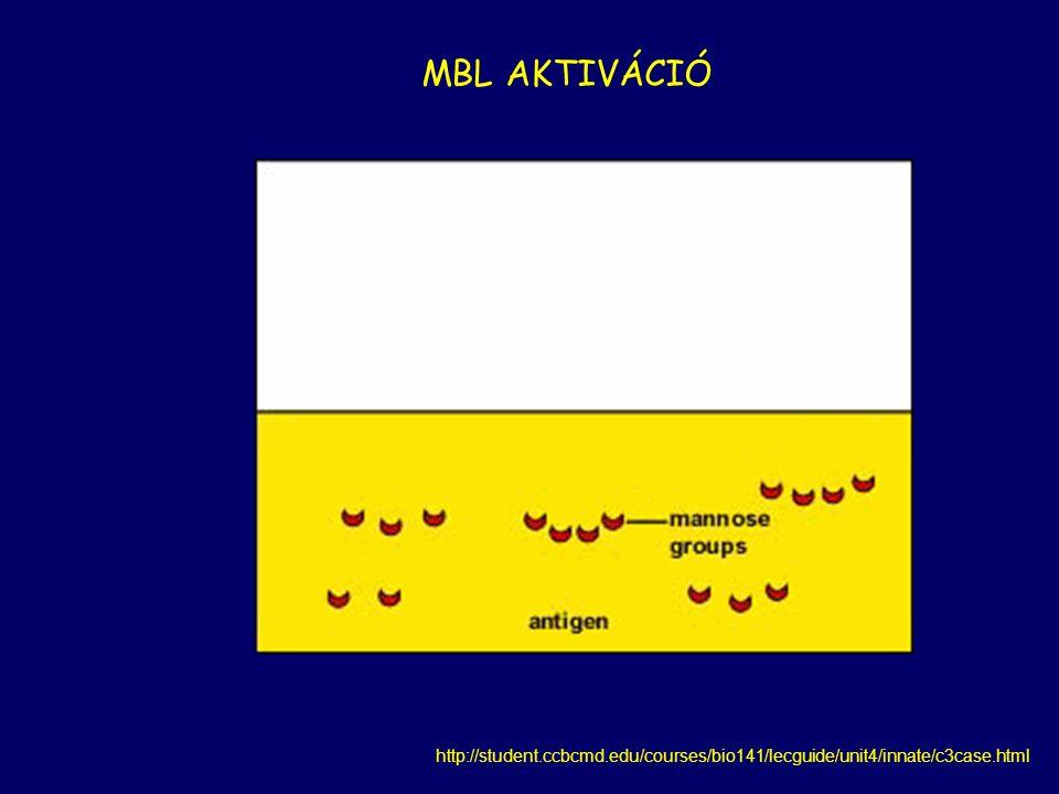 3.LEKTIN KÖZVETÍTETT AKTIVÁCIÓS ÚT mannóz kötő lektin (MBL) = PRR a patogén sejtfelszíni mannóz tartalmú fehérjéihez köt MBL+ MASP  C2, C4  C2aC4b (MBL- associated- serine- protease) Klasszikus C3 konvertáz  C3  C3b MBL C2b MBL