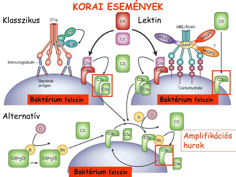 Szerkezeti és funkcionális homológia MBL-MASP komplex és C1 komplex közt Mannóz kötő lektin Baktérium Antigén-antitest komplex