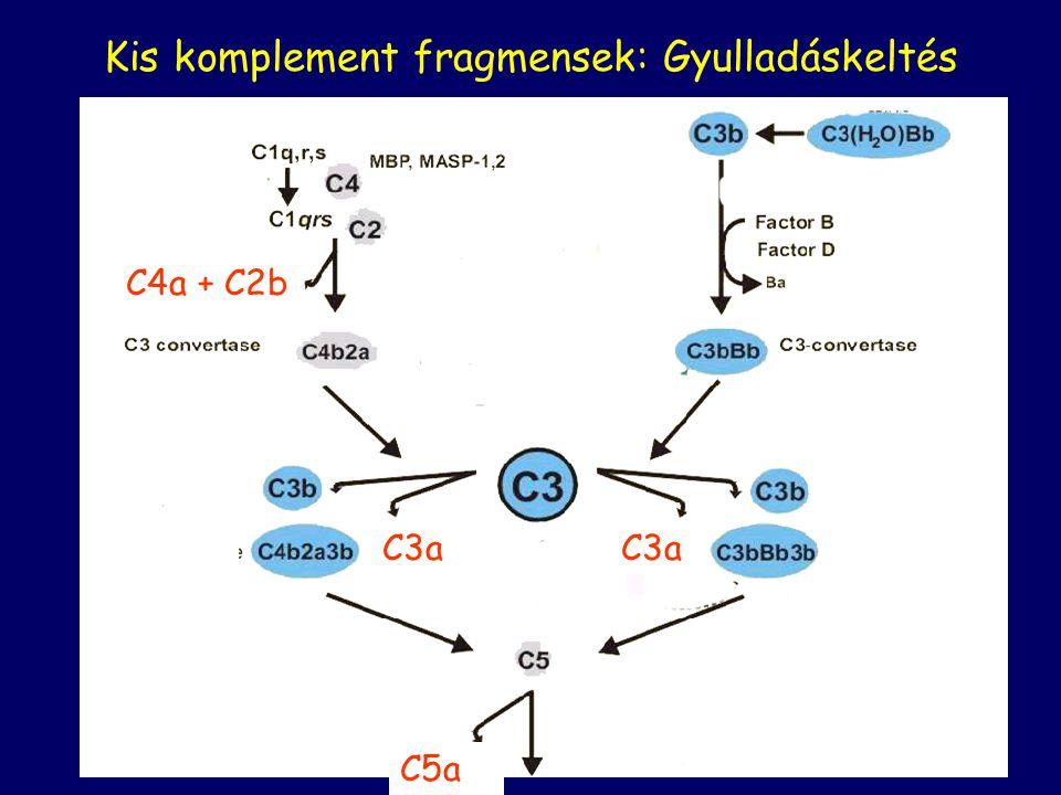 KLASSZIKUS C3b/C4b DEGRADÁCIÓJA ALTERNATÍV I Faktor C3b C4b proteolízis C3dg C4d Komplement receptorok ligandjai I.
