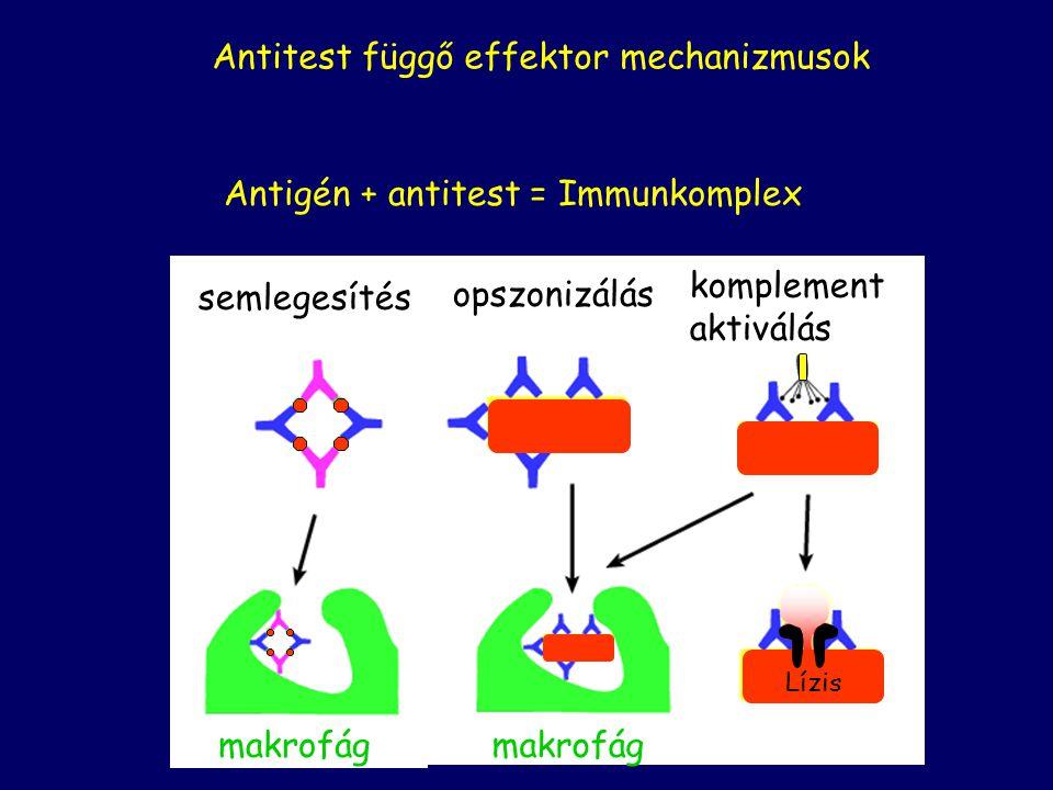 B-sejtek Klonális expanzió Memória B-sejtek Plazma sejtek Szekretált antitestek