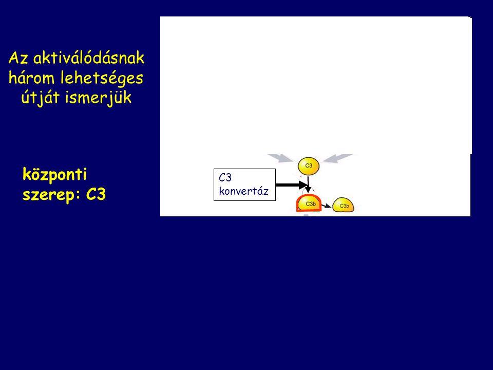 Központi szerep: C3 C3 C3 aktiválása C3b C3a C3 konvertáz kulcslépése minden komplement által mediált folyamatnak
