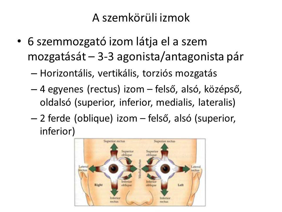 A szemkörüli izmok 6 szemmozgató izom látja el a szem mozgatását – 3-3 agonista/antagonista pár – Horizontális, vertikális, torziós mozgatás – 4 egyen