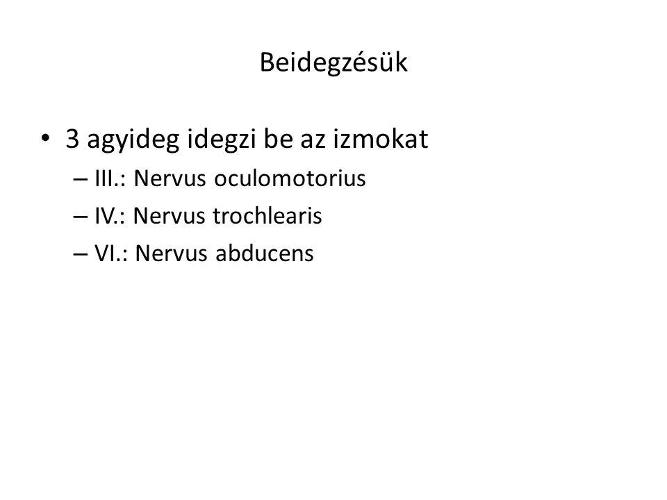 Beidegzésük 3 agyideg idegzi be az izmokat – III.: Nervus oculomotorius – IV.: Nervus trochlearis – VI.: Nervus abducens