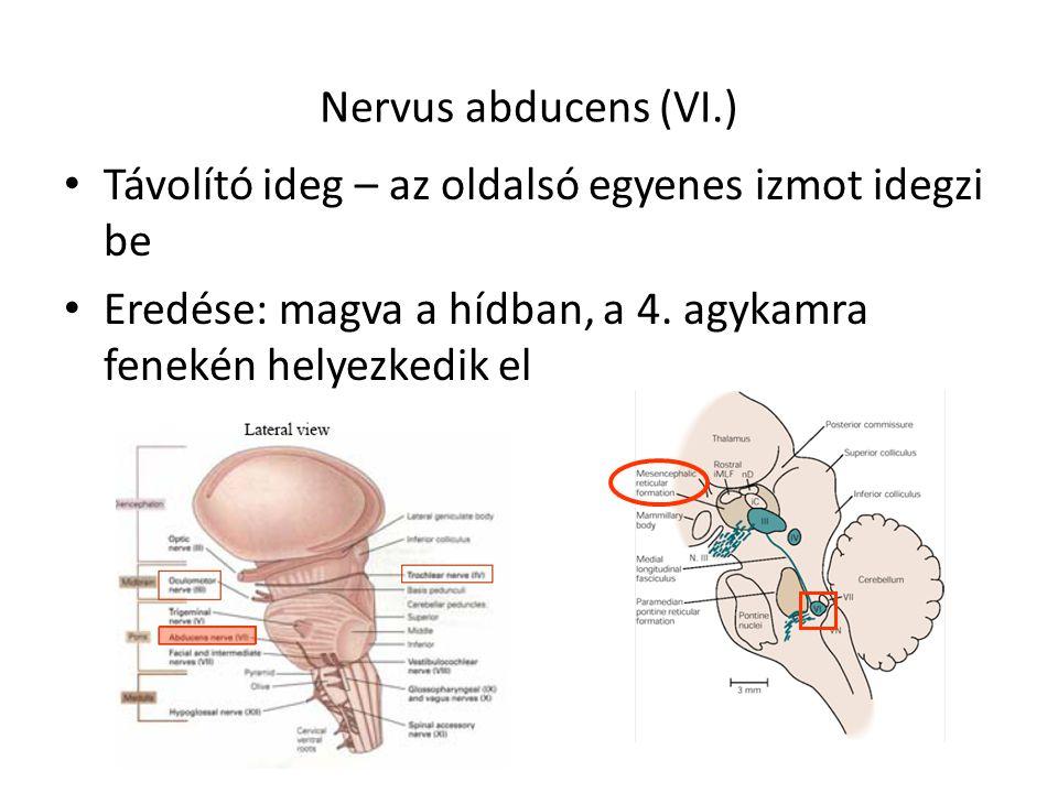 Nervus abducens (VI.) Távolító ideg – az oldalsó egyenes izmot idegzi be Eredése: magva a hídban, a 4. agykamra fenekén helyezkedik el