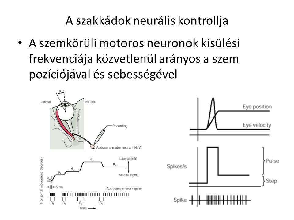 A szakkádok neurális kontrollja A szemkörüli motoros neuronok kisülési frekvenciája közvetlenül arányos a szem pozíciójával és sebességével