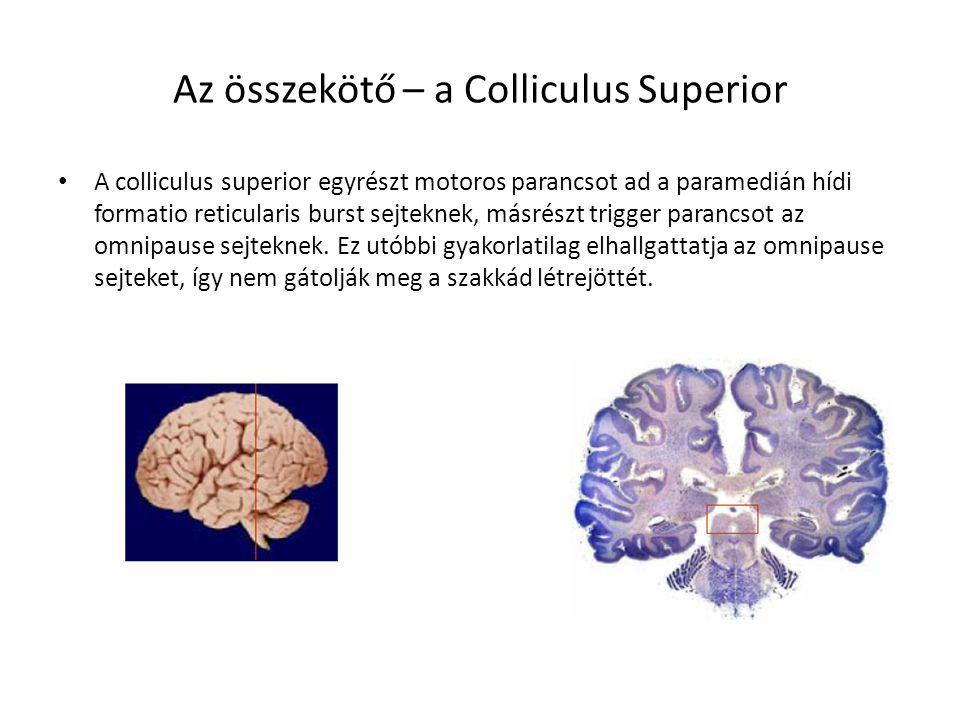 Az összekötő – a Colliculus Superior A colliculus superior egyrészt motoros parancsot ad a paramedián hídi formatio reticularis burst sejteknek, másré