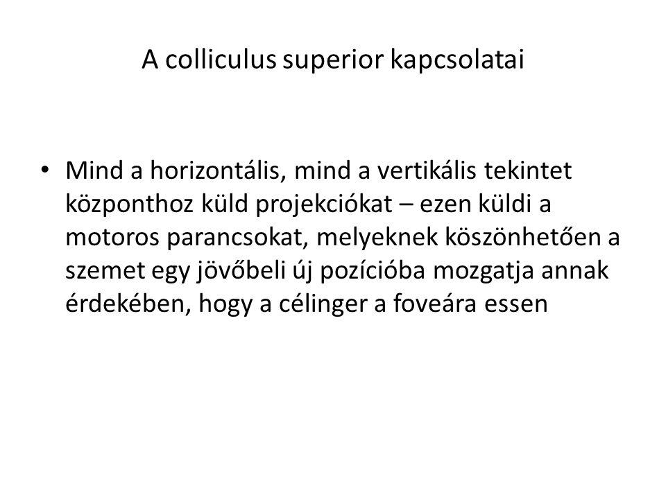 A colliculus superior kapcsolatai Mind a horizontális, mind a vertikális tekintet központhoz küld projekciókat – ezen küldi a motoros parancsokat, mel