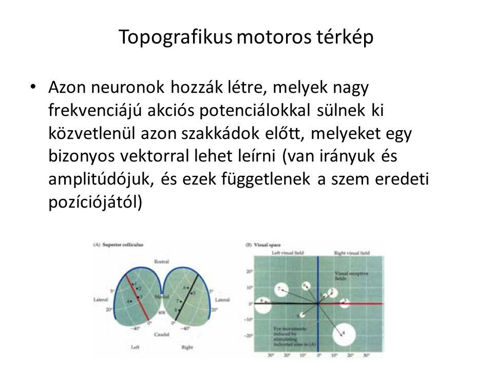 Topografikus motoros térkép Azon neuronok hozzák létre, melyek nagy frekvenciájú akciós potenciálokkal sülnek ki közvetlenül azon szakkádok előtt, mel