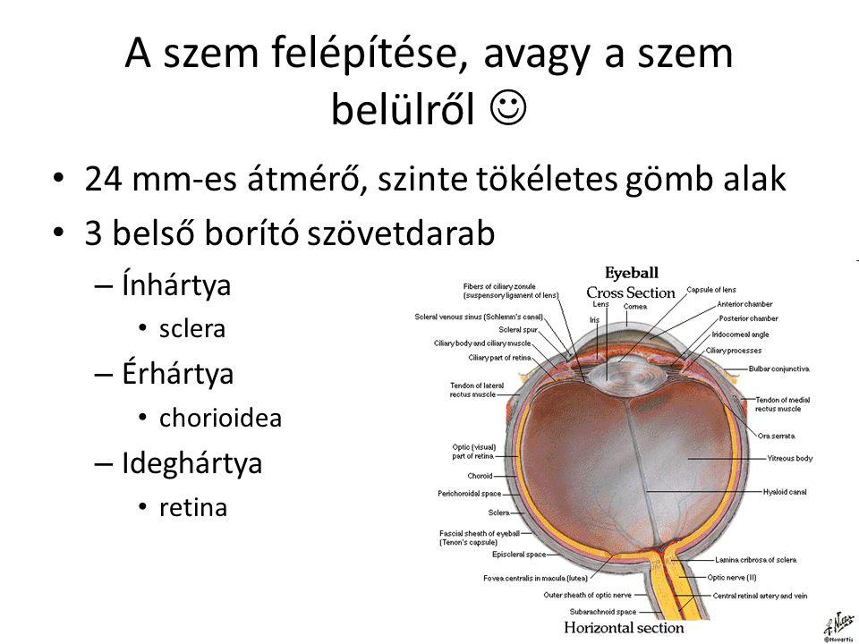 """A hártyák - sclera Ínhártya (sclera) – a legkülső réteg Sclera = kemény A szem """"fehérje , sűrű anyag, melynek elsődleges funkciója a szem védelme Kb."""