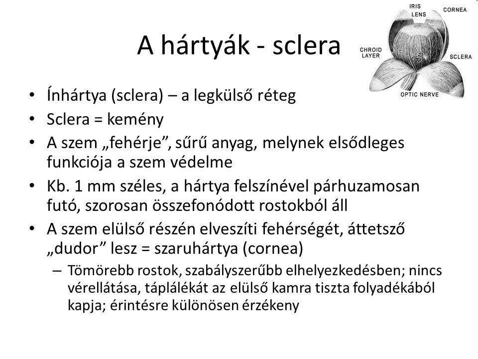 """A hártyák - sclera Ínhártya (sclera) – a legkülső réteg Sclera = kemény A szem """"fehérje"""", sűrű anyag, melynek elsődleges funkciója a szem védelme Kb."""