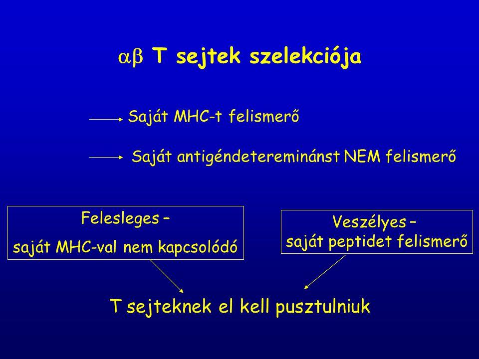  T sejtek szelekciója Saját MHC-t felismerő Saját antigéndetereminánst NEM felismerő Felesleges – saját MHC-val nem kapcsolódó Veszélyes – saját peptidet felismerő T sejteknek el kell pusztulniuk