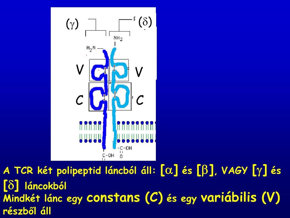 A TCR két polipeptid láncból áll: [  ] és [  ], VAGY [  ] és [  ] láncokból  V V CC Mindkét lánc egy constans (C) és egy variábilis (V) részből áll  ()() ()()