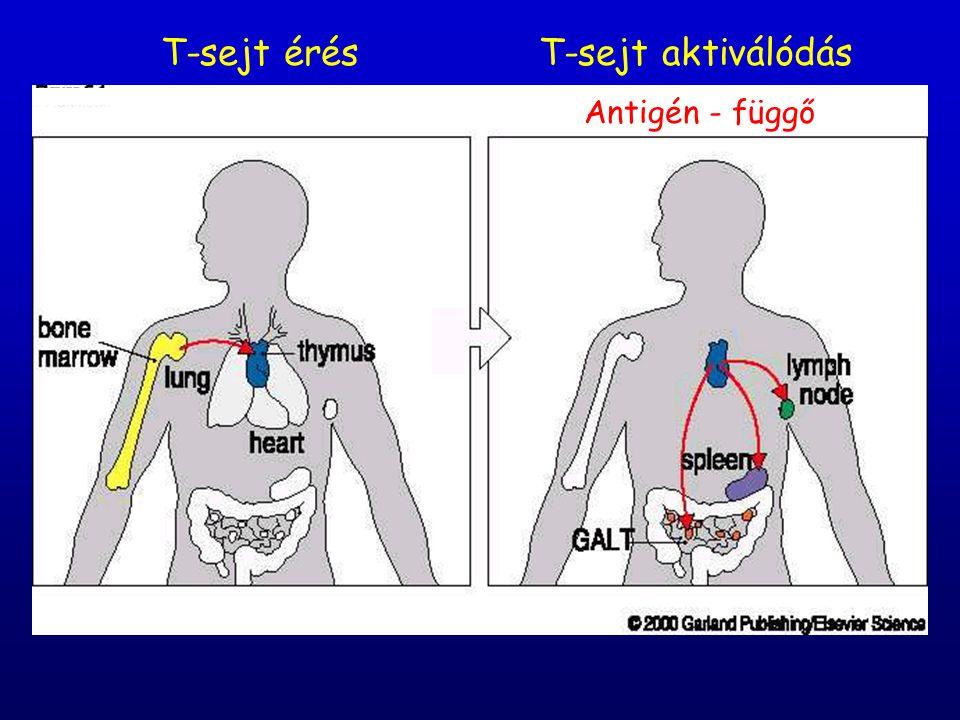 T-sejt aktiválódásT-sejt érés Antigén - függő
