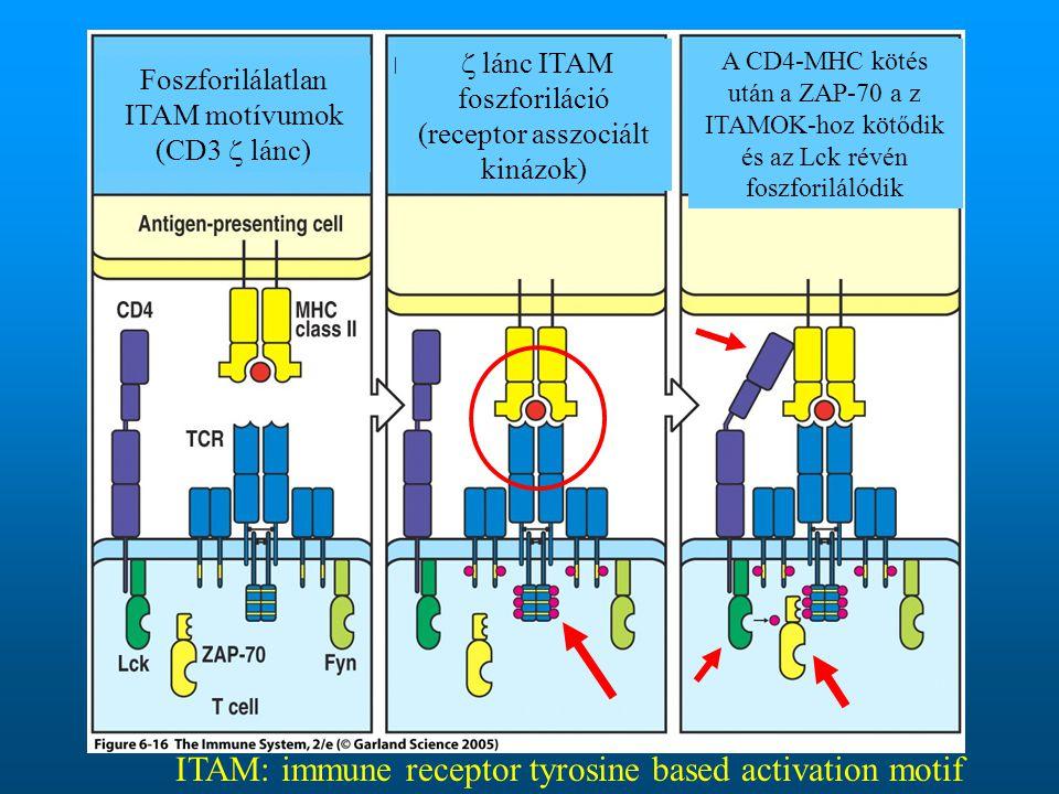 Figure 6-16 Foszforilálatlan ITAM motívumok (CD3  lánc)  lánc ITAM foszforiláció (receptor asszociált kinázok) A CD4-MHC kötés után a ZAP-70 a z ITAMOK-hoz kötődik és az Lck révén foszforilálódik ITAM: immune receptor tyrosine based activation motif
