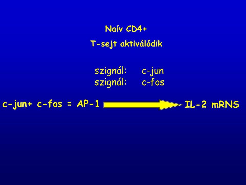 c-jun+ c-fos = AP-1 IL-2 mRNS szignál: c-jun szignál: c-fos Naív CD4+ T-sejt aktiválódik