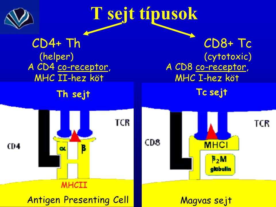 T sejt típusok CD4+ Th (helper) CD8+ Tc (cytotoxic) MHCII Antigen Presenting Cell Th sejt A CD4 co-receptor, MHC II-hez köt A CD8 co-receptor, MHC I-hez köt Tc sejt Magvas sejt
